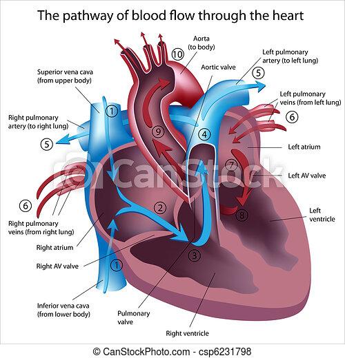 La sangre fluye por el corazón - csp6231798