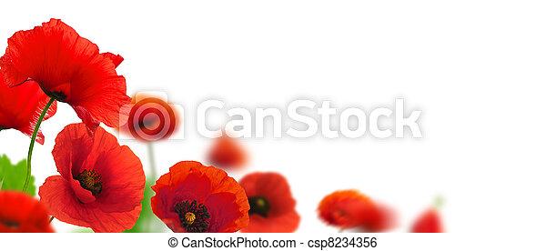 Las amapolas rojas sobre un fondo blanco. Diseño floral para un ángulo de página. El cierre de las flores con foco y efecto borroso - csp8234356