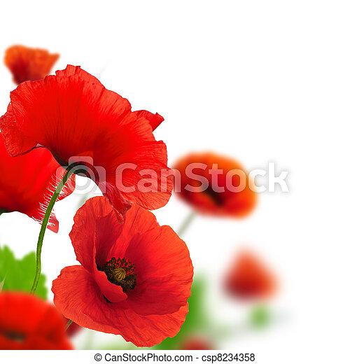 Las amapolas rojas sobre un fondo blanco. Diseño floral para un ángulo de página. El cierre de las flores con foco y efecto borroso - csp8234358