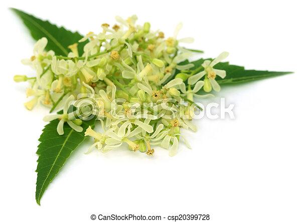 Las hojas de neem medicinales y las flores - csp20399728