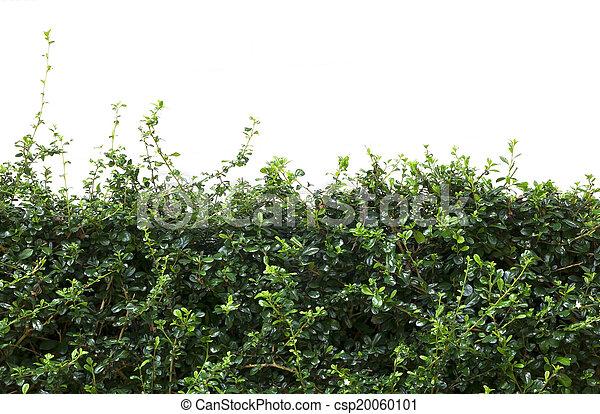 Las hojas de valla de Bush - csp20060101