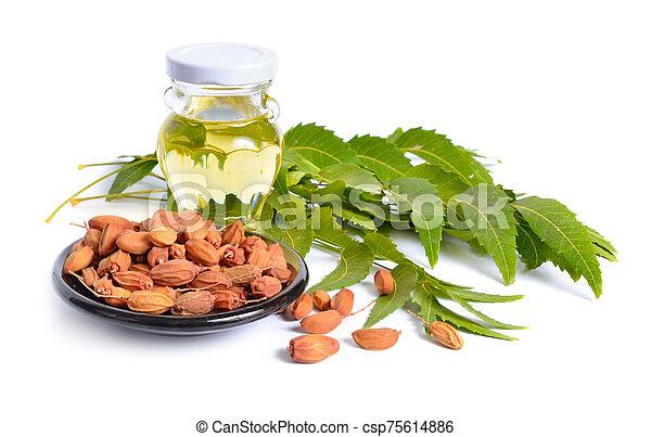 leaves., indio, fruta, azadirachta, o, comúnmente, aislado, neem, conocido, indica, lilac., nimtree - csp75614886