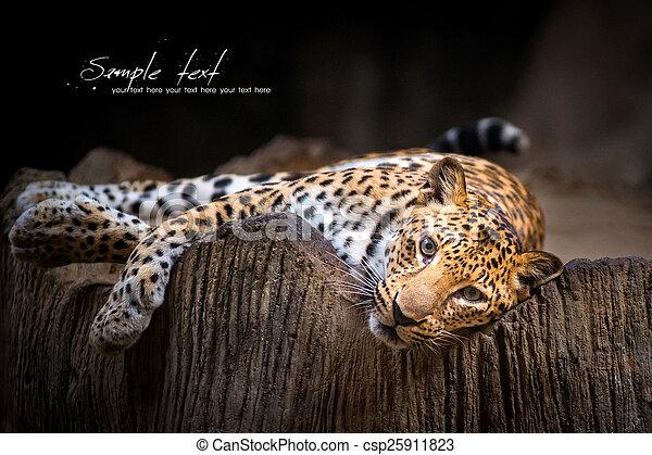 Leopardo - csp25911823