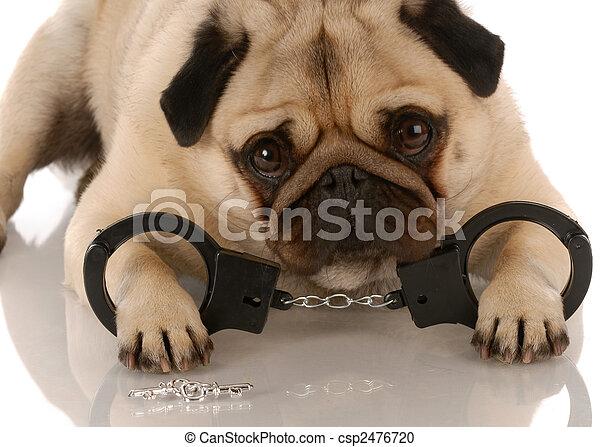 Perro quebrantando la ley. Pug con esposas y llaves - csp2476720