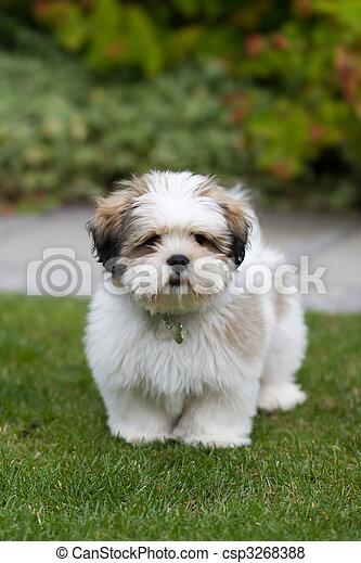 Lhasa apso cachorro - csp3268388