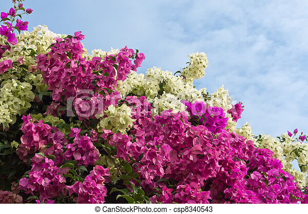 Los arbustos de Bougainvillea - csp8340543