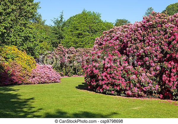 Los arbustos de Rhododendron en el jardín de verano - csp9798698