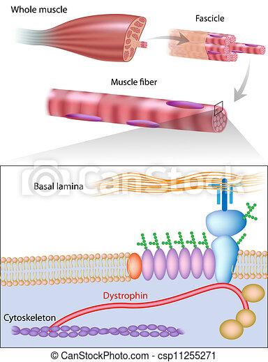 Fibra muscular con distrofina, eps10 - csp11255271