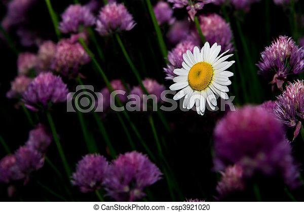 Flor de Daisy - csp3921020