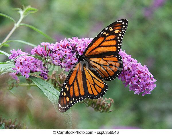 Mariposa Monarca y flores silvestres - csp0356546