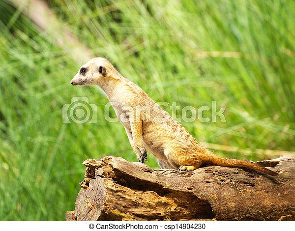 Meerkats - csp14904230