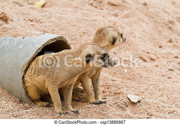 Meerkats - csp13886867