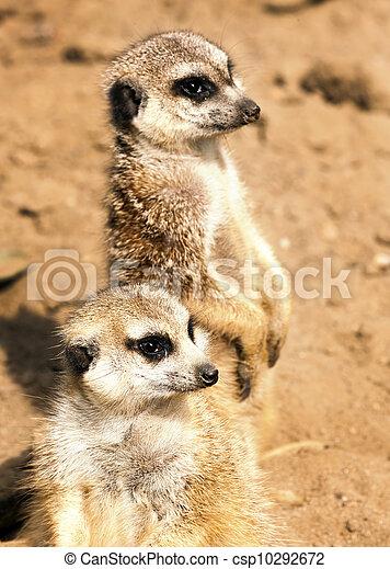 Meerkats - csp10292672