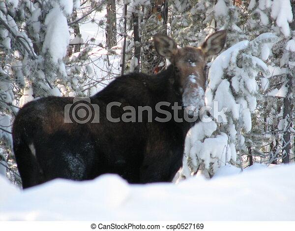 Moose - csp0527169