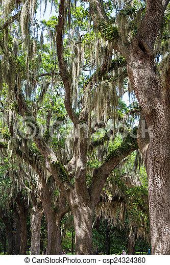 Moss español cubierto de robles en Savannah - csp24324360