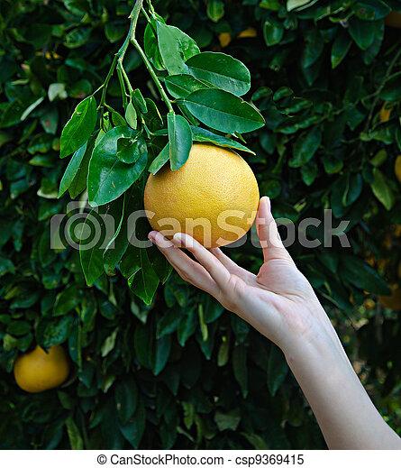 Mujer sosteniendo pomelo maduro - csp9369415
