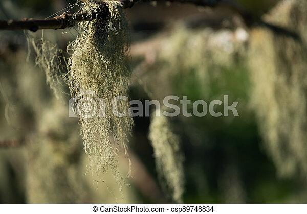 musgo, branch., de, ahorcadura, primer plano - csp89748834