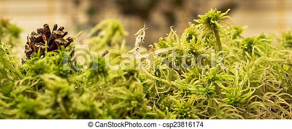 Moss de Sphagnum - csp23816174