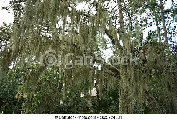 Musgo español colgando de roble vivo, cabeza de Hilton, Carolina del Sur - csp5724531