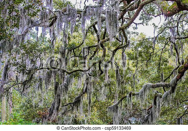 Musgo español en el árbol - csp59133469