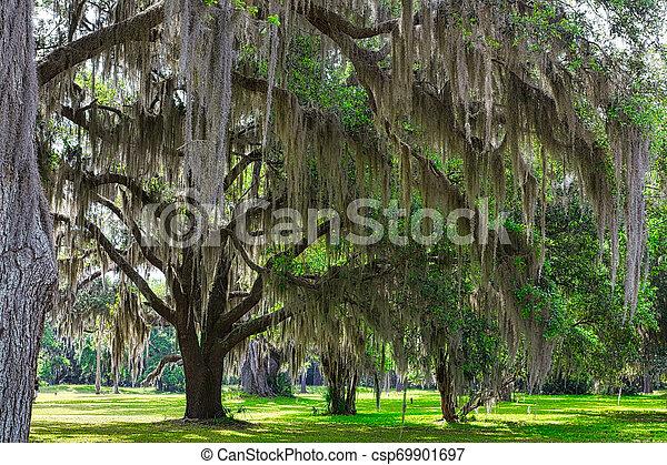 Musgo español en los árboles - csp69901697