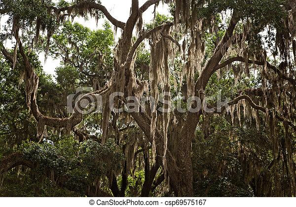 Musgo español en los árboles - csp69575167