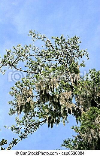 Musgo español en pinos - csp0536384