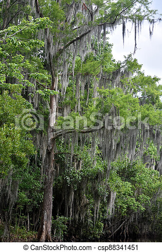musgo español, ramas, árbol, ahorcadura, ornamental, alto - csp88341451