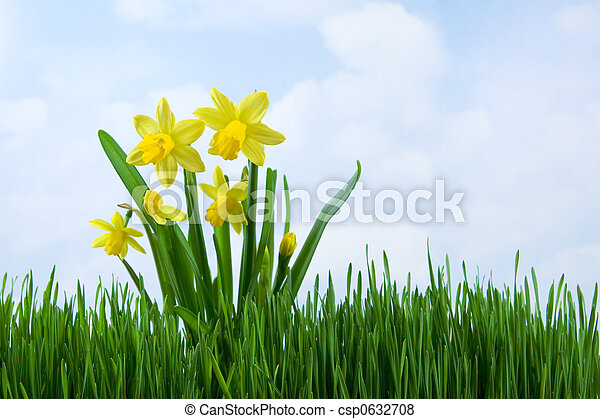 Daffodils - csp0632708
