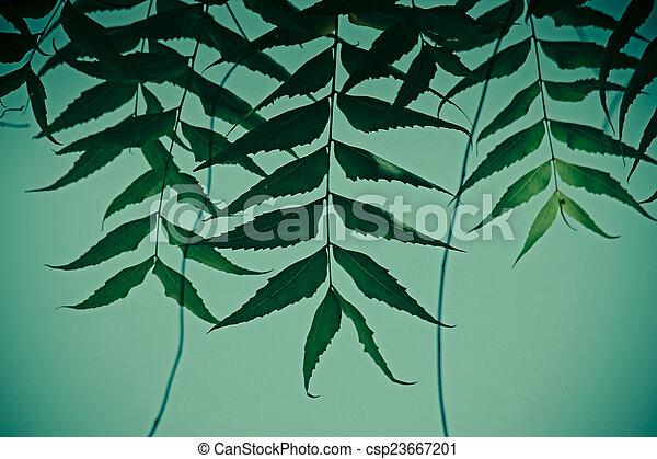 Neem medicinal deja-Azadirachta indica - csp23667201
