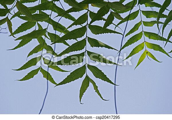 Neem medicinal deja-Azadirachta indica - csp20417295