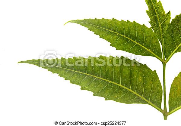 Neem medicinal deja-Azadirachta indica - csp25224377
