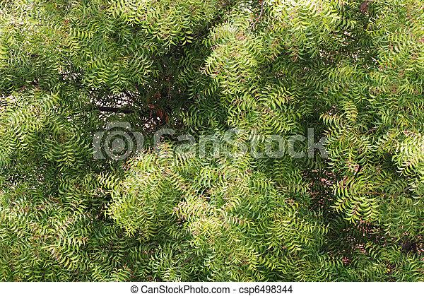 Neem Tree (azadirachta indica) - primera vista - csp6498344