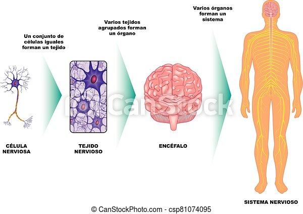 nervioso, -, c?lula, ?rgano, sistema, tejido - csp81074095