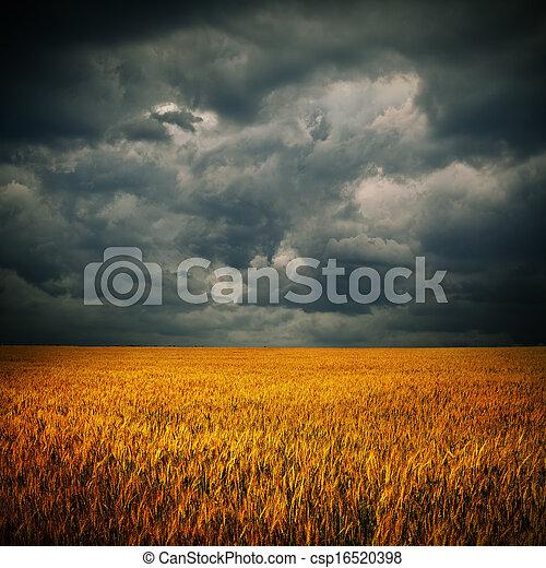 Nubes oscuras sobre el campo de trigo - csp16520398