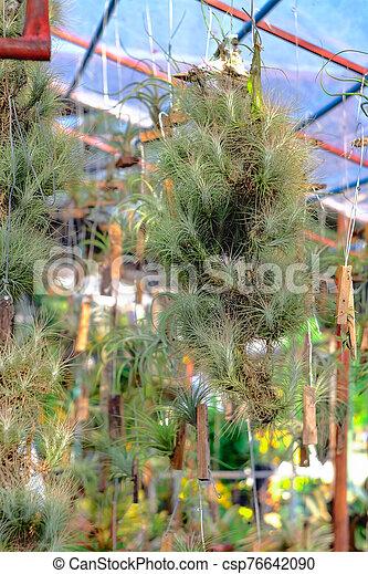 o, branch., airplant, epiphyte, tillandsia, crecer - csp76642090