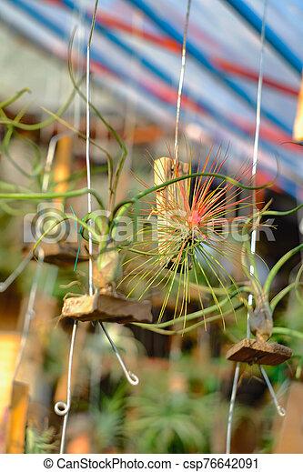o, branch., airplant, epiphyte, tillandsia, crecer - csp76642091