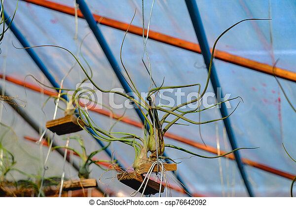 o, branch., airplant, epiphyte, tillandsia, crecer - csp76642092