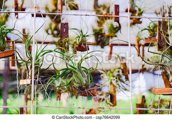 o, branch., airplant, epiphyte, tillandsia, crecer - csp76642099
