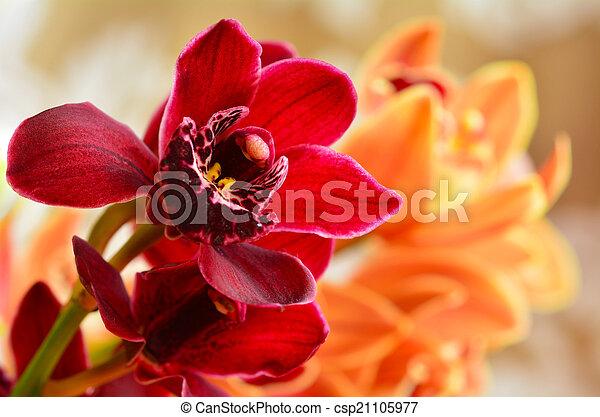 Orquídea de polilla, flor de phalaenopsis - csp21105977