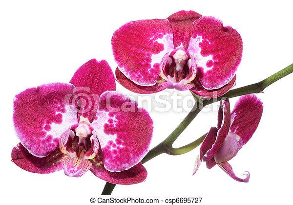 Orquídea - csp6695727