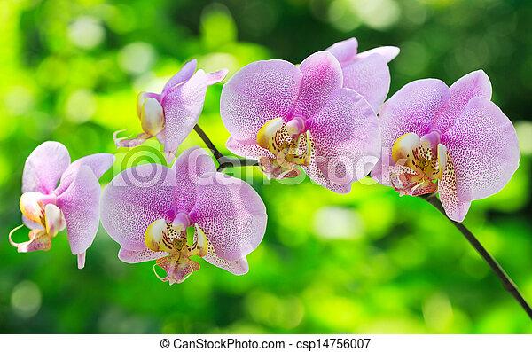 Orquídea rosa - csp14756007