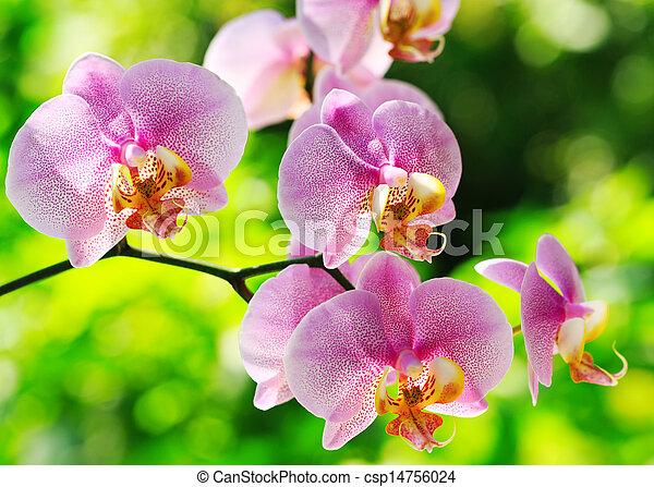 Orquídea rosa - csp14756024