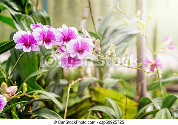 Orquídea rosa y blanca en la granja - csp50925725