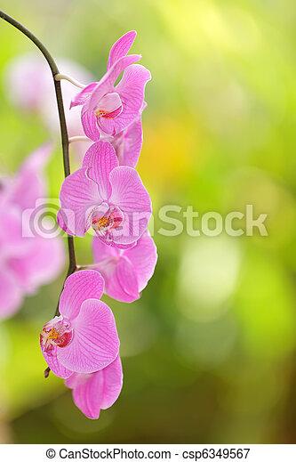 orquídea viva - csp6349567