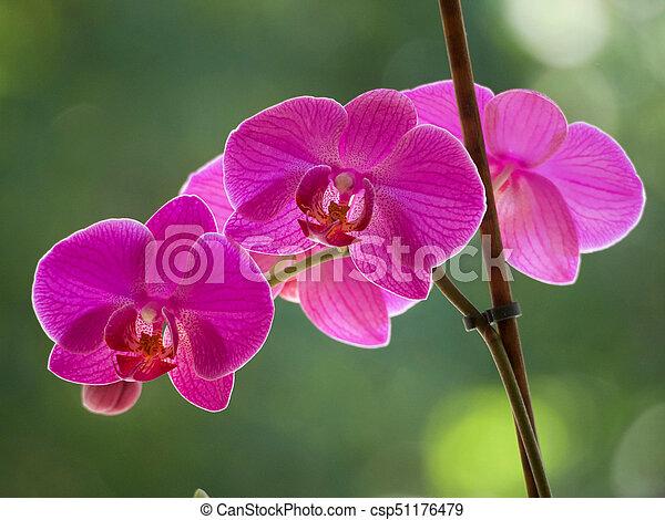 Orquídeas púrpura - csp51176479