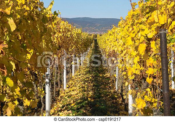 Viñedos de otoño - csp0191217