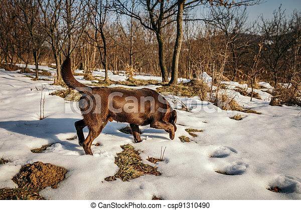 perro, labrador, cubierto, nieve - csp91310490