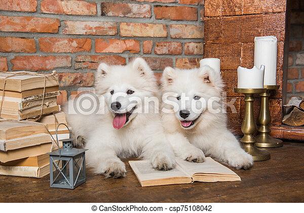 perros, blanco, libro, perritos, samoyedo, navidad - csp75108042