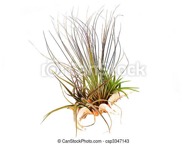 Planta aérea (Epiphyte) creciendo en una cáscara de mar. - csp3347143